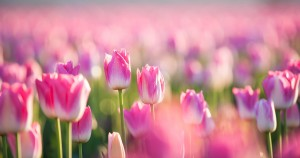 Pink tulips in the sun in the spring time