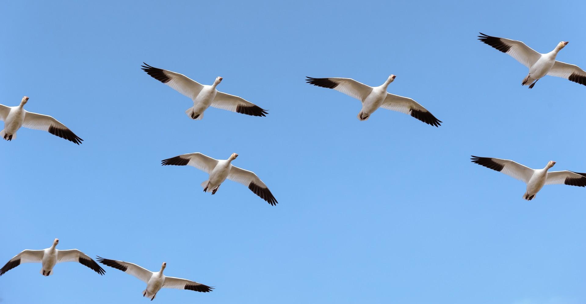 Snow Geese-6884