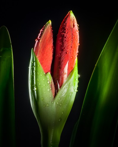 Unopened Flower red amaryllis flower bud