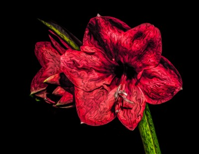 Amaryllis Flower Christmas red color