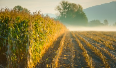Corn Field art photo