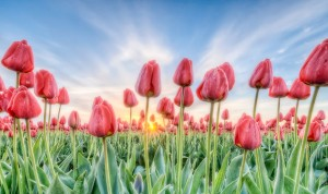 Sunrise Tulips