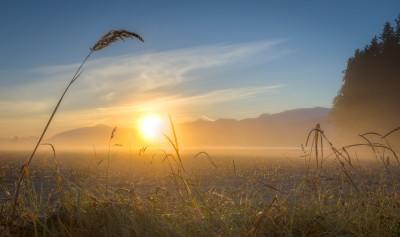 Sunrise Wheat Grass