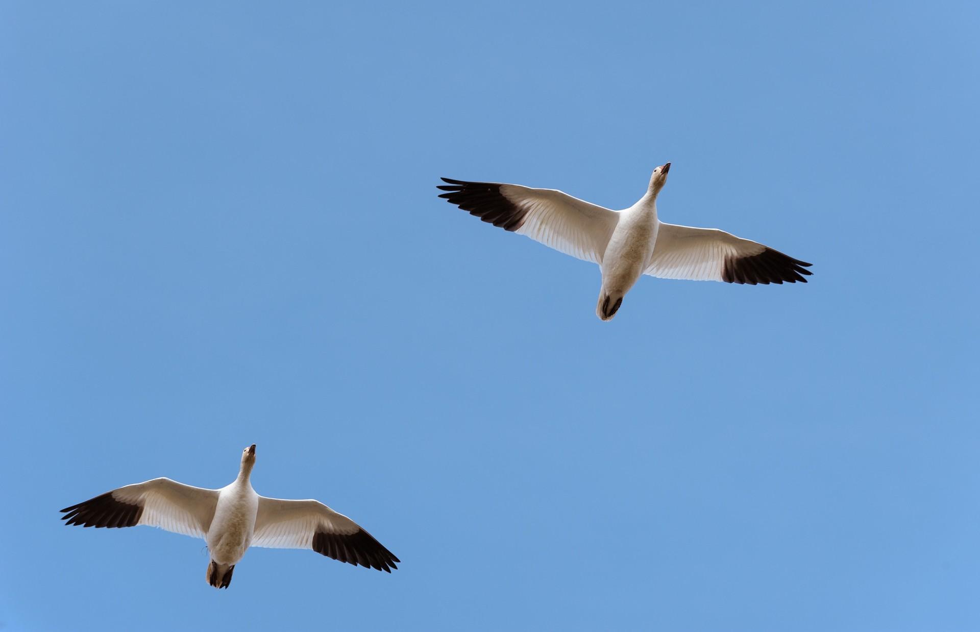 Snow Geese-6870