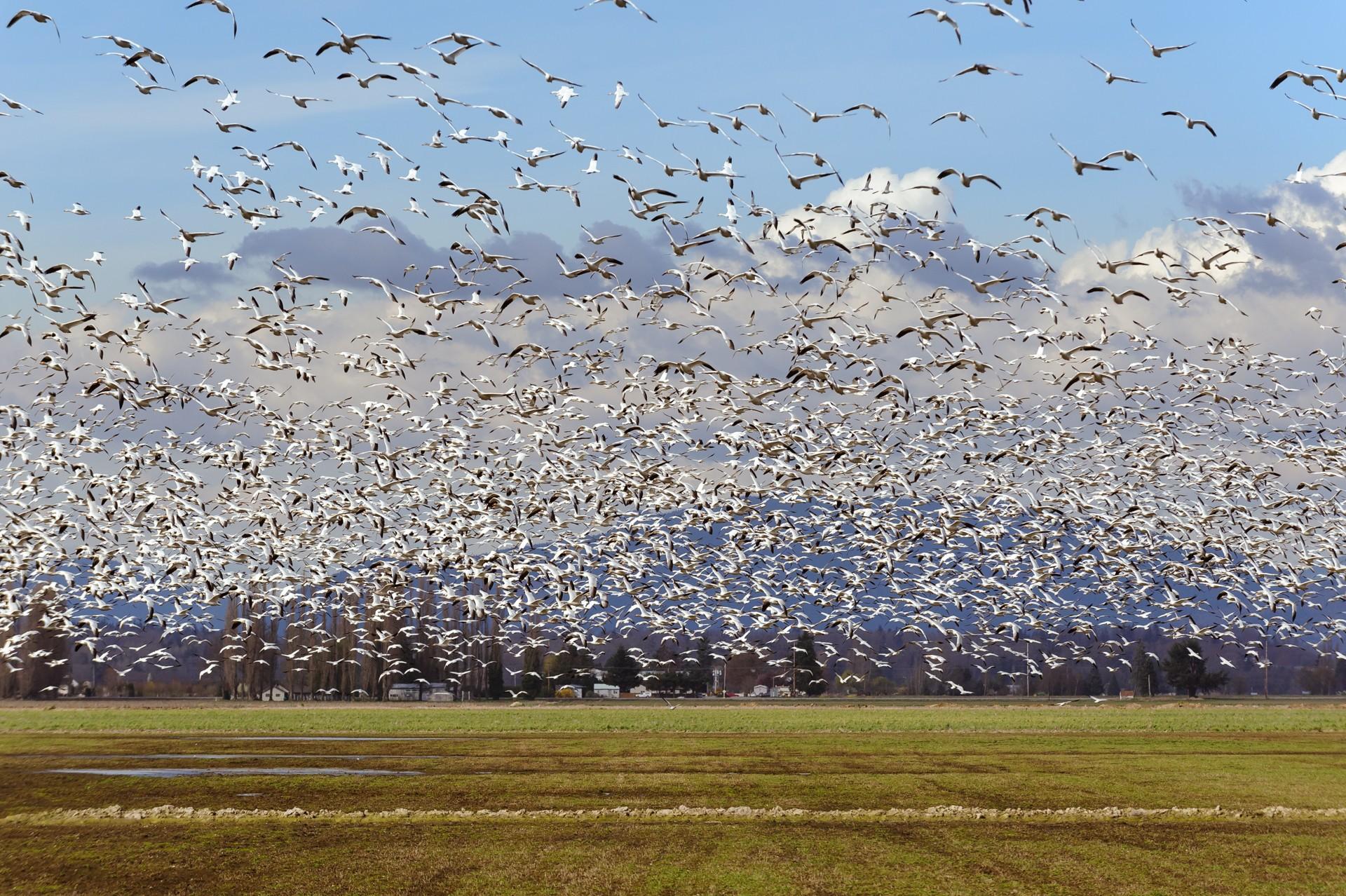 Snow Geese-6894