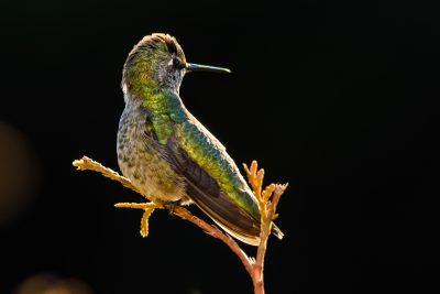 portrait of an Annas hummingbird skagit valley